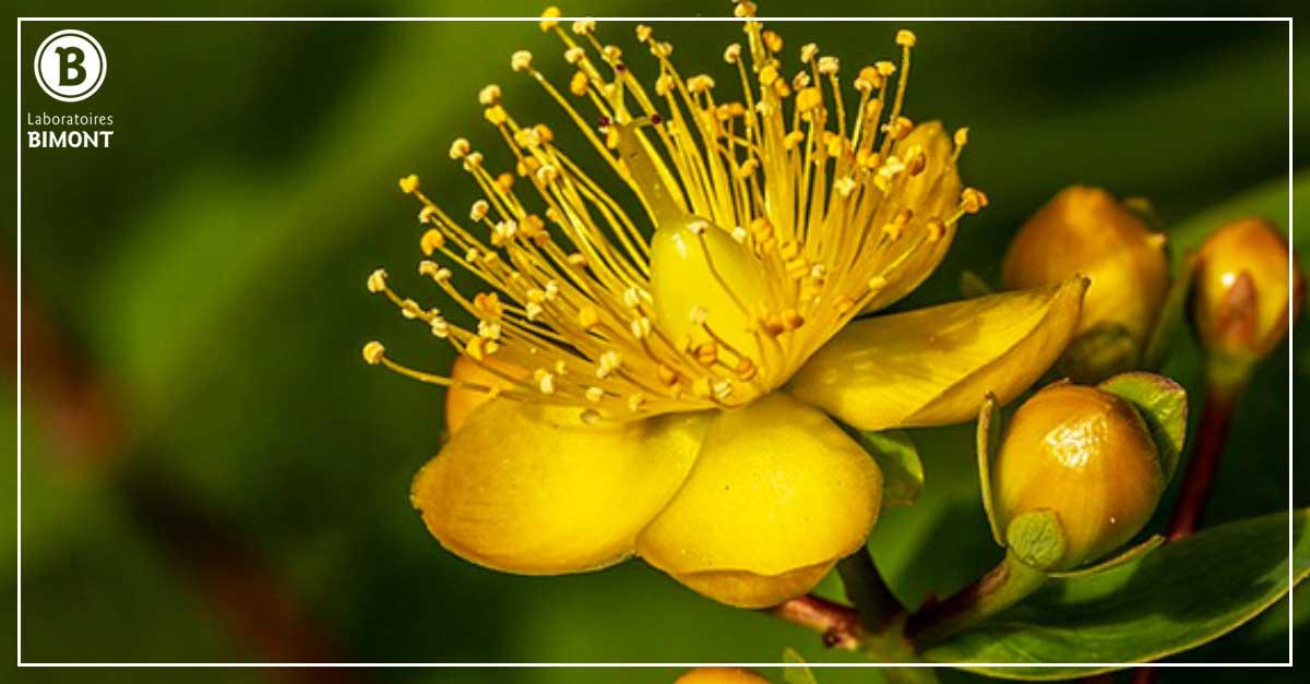 Millepertuis, la plante pour lutter contre les stress