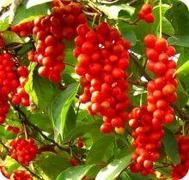 Schizandre (fruit)